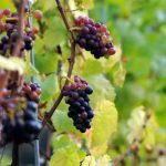 Grape Picking Surrey