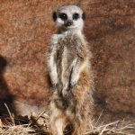 Meerkat Experience East Sussex