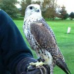 Falconry North Warwickshire
