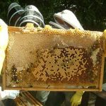 bee-meeting-brood-350