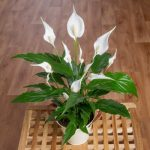 Peace Lily in Zinc Pot