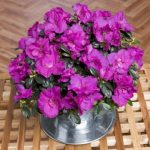 Purple Azalea in Teacup
