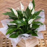 Christmas Peace Lily